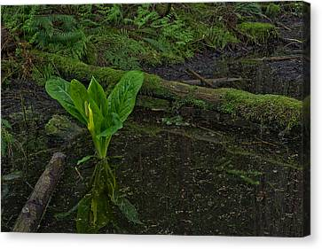 Skunk Weed Cabbage In The Pond Canvas Print by Paul W Sharpe Aka Wizard of Wonders