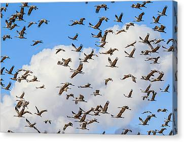 Canvas Print featuring the photograph Skyful Of Cranes by Beverly Parks