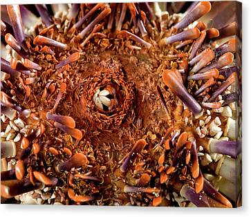 Slate Pencil Urchin Canvas Print by Natural History Museum, London