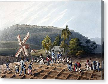 Slaves Planting Sugar Cane, 19th Century Canvas Print by British Library