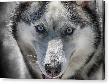 Canvas Print featuring the photograph Sled Dog  by Dennis Baswell