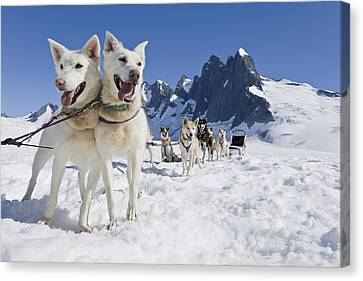 Sled Dog Team Standing On The Juneau Canvas Print