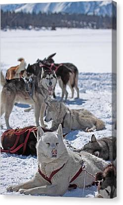 Sled Dogs Canvas Print