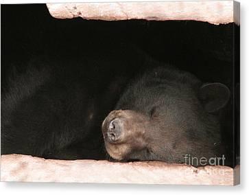 Sleeping Bear Canvas Print by Nancy TeWinkel Lauren