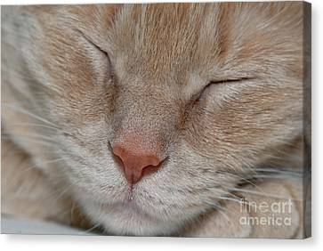 Sleeping Cat Face Closeup Canvas Print by Amy Cicconi