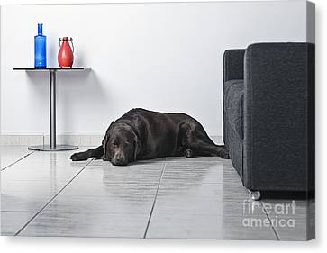 Sleeping Dog Canvas Print by Justin Paget