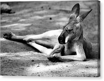 Sleeping Kangaroo Black And White Canvas Print by Pati Photography