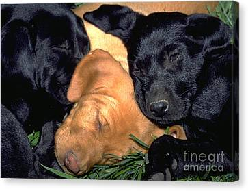 Sleeping Labrador Retriever Puppies 8 Canvas Print by William H. Mullins