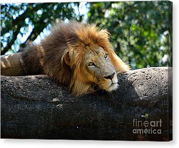Canvas Print featuring the photograph Thinking Lion by Lisa L Silva