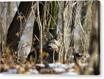 Canvas Print - Sleeping Roe Deer by Dragomir Felix-bogdan