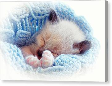 Canvas Print featuring the photograph Sleeping Siamese Kitten by Tracie Kaska