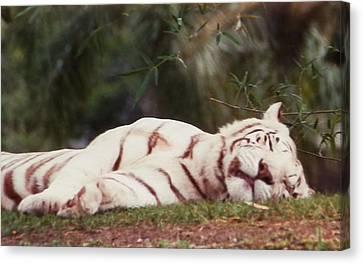 Sleeping White Snow Tiger Canvas Print