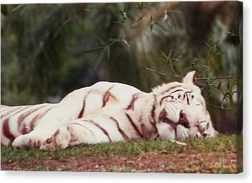 Sleeping White Snow Tiger Canvas Print