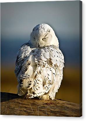 Sleeping Snowy Owl Canvas Print by Steve McKinzie