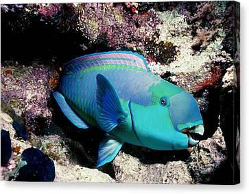 Sleeping Steepheaded Parrotfish Canvas Print by Jeff Rotman