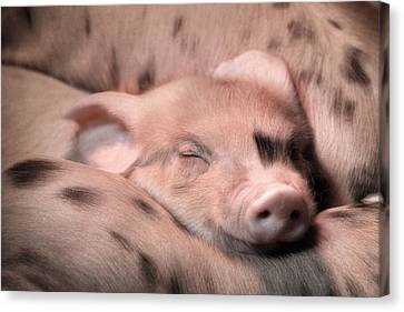 Sleepy Baby Pig Canvas Print by Lori Deiter