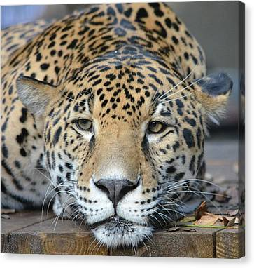 Sleepy Jaguar Canvas Print