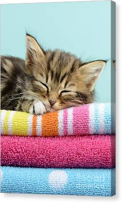 Sleepy Kitten Canvas Print by Greg Cuddiford