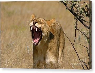 Lioness Canvas Print - Sleepy Lioness by Alison Kennedy-Benson