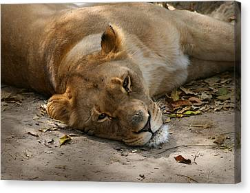 Canvas Print featuring the photograph Sleepy Lioness by Ann Lauwers