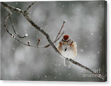 Sleepy Little Sparrow Canvas Print by Lila Fisher-Wenzel