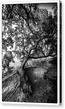 Oak Harbor Canvas Print - Sleepy Oak by Marvin Spates
