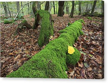 Forest Floor Canvas Print - Slime Mold With Moss In Beech Forest by Heike Odermatt