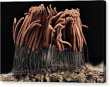 Slime Mould Canvas Print by Us Geological Survey