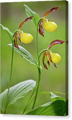 Slipper Orchid (cypripedium Calceolus) Canvas Print