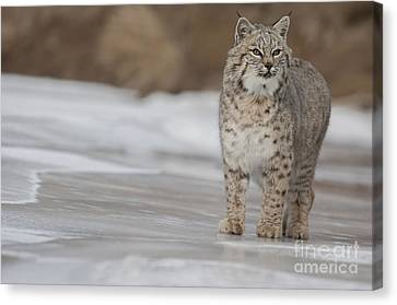 Cats Canvas Print - Slippery Trails by Wildlife Fine Art