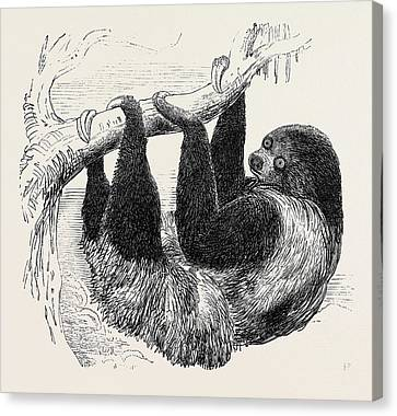 Sloth At The Zoological Gardens Canvas Print by English School