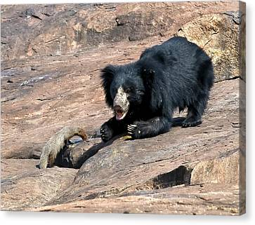 Sloth Bear And Mongoose Canvas Print by K Jayaram