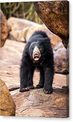 Sloth Bear Canvas Print by Paul Williams