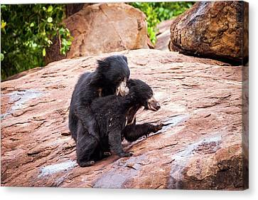 Sloth Bears Play-fighting Canvas Print
