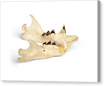 Sloth Mandible Canvas Print by Ucl, Grant Museum Of Zoology