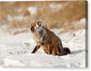 Slush Puppy Red Fox In The Snow Canvas Print by Roeselien Raimond