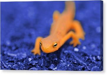 Sly Salamander Canvas Print by Luke Moore