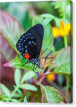 Small Black With Blue Spots Canvas Print by Karen Stephenson