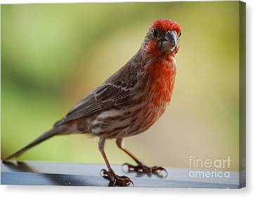 Small Brown And Red Bird Canvas Print by DejaVu Designs