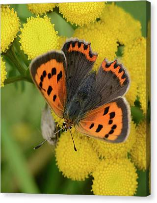Small Copper Butterfly Canvas Print by Nigel Downer
