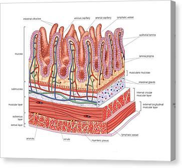 Small Intestine Canvas Print by Asklepios Medical Atlas