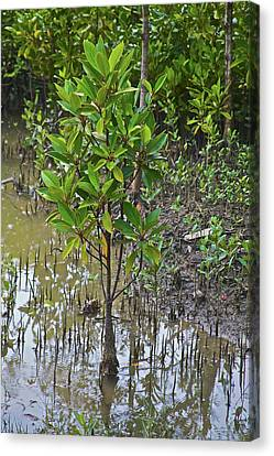 Small Mangrove Tree, Sunderbans Canvas Print by Connie Bransilver