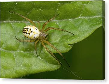 Small Orb-web Spider Canvas Print by Nigel Downer