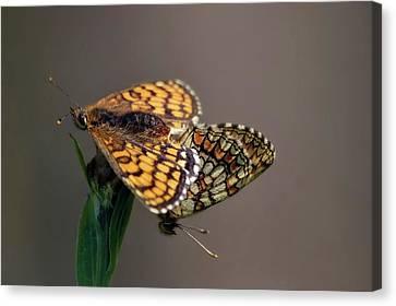 Small Pearl-bordered Fritillary Mating Canvas Print