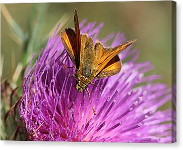 Canvas Print featuring the photograph Small Skipper - Thymelicus Sylvestris by Jivko Nakev