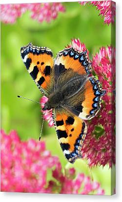Small Tortoiseshell Butterfly Canvas Print by David Aubrey