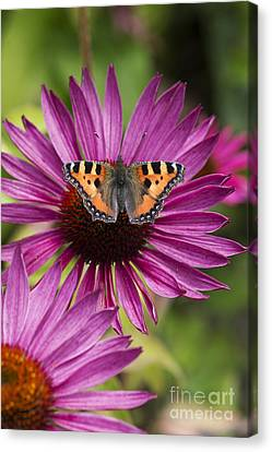 Small Tortoiseshell On Echineca Purpurea Flower Canvas Print by Tim Gainey