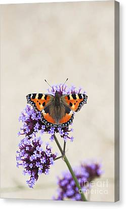 Small Tortoiseshell On Verbena Canvas Print by Tim Gainey