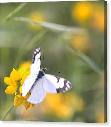 Small White Butterfly On Yellow Flower Canvas Print by Belinda Greb
