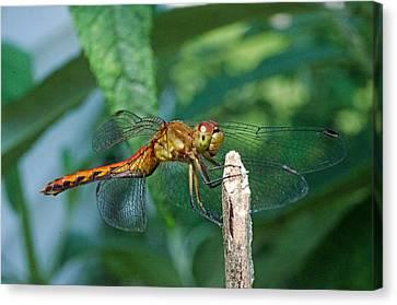Smilin Dragonfly Canvas Print by Cheryl Cencich